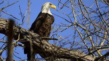 Бесплатные фото белоголовый орлан,клюв,желтый,крылья,голова,белая,дерево