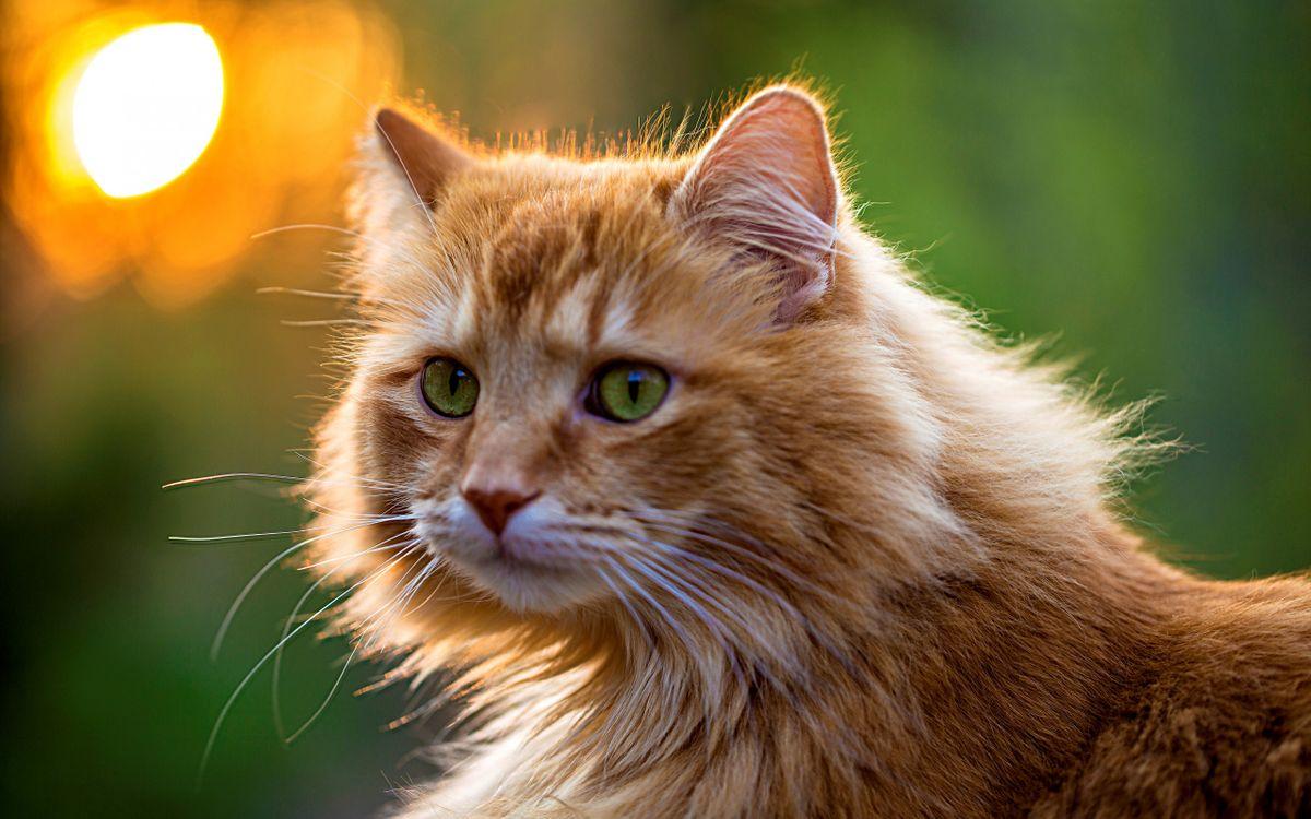 Фото бесплатно кот, рыжий, морда, глаза, зеленые, шерсть, кошки, кошки