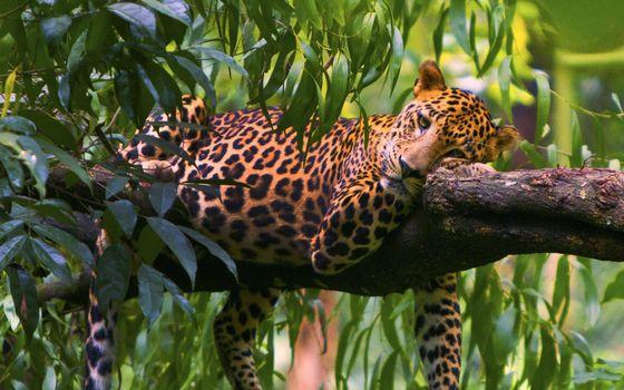 Фото бесплатно леопард, дерево, ветка