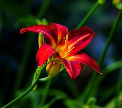 Заставка лилия, лилии на андроид