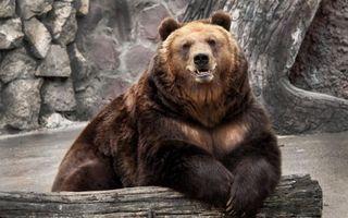 Фото бесплатно медведь, морда, клыки