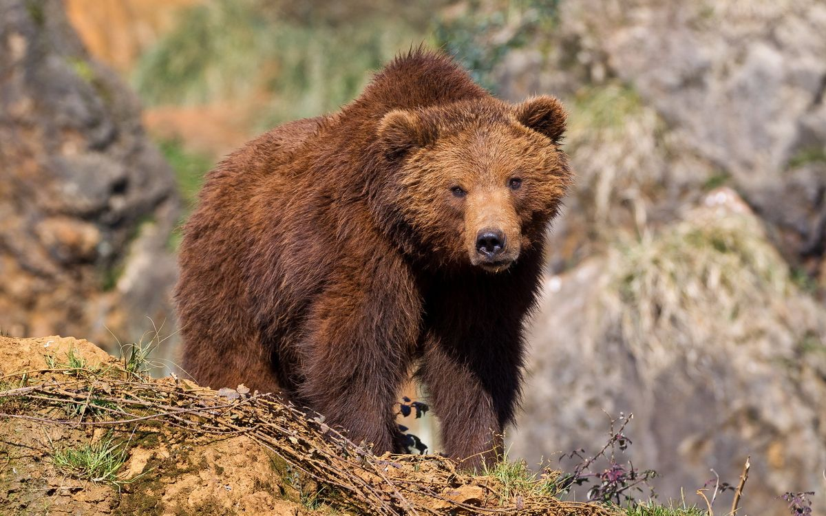 Free photo bear, predator, hunter - to desktop