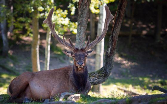 Заставки олень, рога, лес