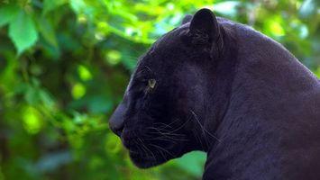 Фото бесплатно пантера, зверь, дикий