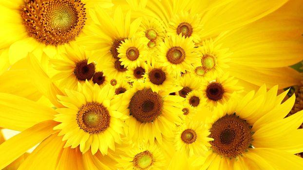 Заставки подсолнух, липестки, желтые