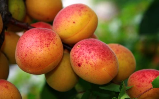 Photo free apricots, not branch, tree