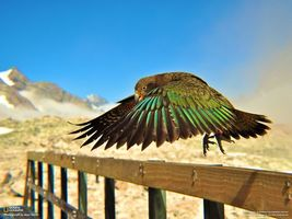 Бесплатные фото попугай,кеа,national geographic,доска,горы,новая зеландия,животные