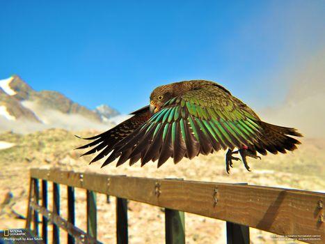 Фото бесплатно попугай, кеа, national geographic