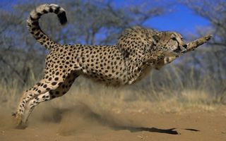 Бесплатные фото гепард,шерсть,пятнышки,окрас,хвост,лапы,усы