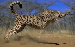 Фото бесплатно гепард, шерсть, пятнышки