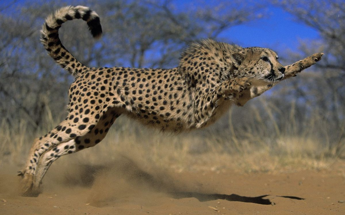 Free photo cheetah, wool, specks - to desktop