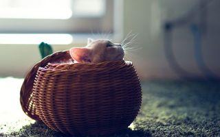 Бесплатные фото кот,котенок,корзинка,плетеная,пол,ковер,уши