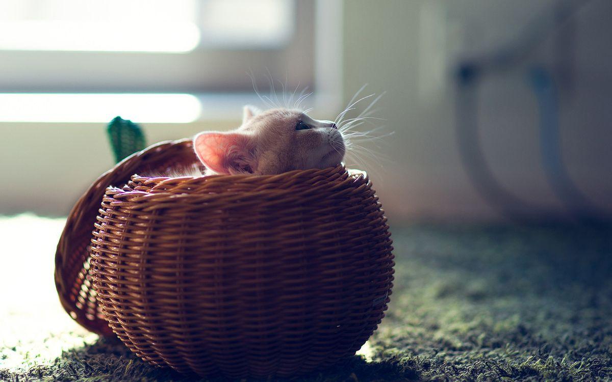 Фото бесплатно кот, котенок, корзинка, плетеная, пол, ковер, уши, глаза, голова, усы, маленький, кошки, кошки