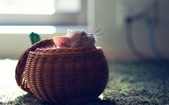 Бесплатные фото кот,котенок,корзинка,плетеная,пол,ковер,уши,глаза,голова,усы,маленький,кошки