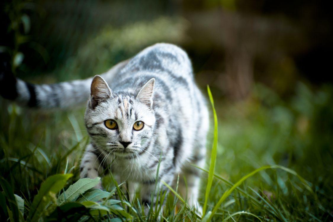 Фото бесплатно кот, полосатый, серо-белый, подкрадывается, добыча, охотник, кошки, кошки