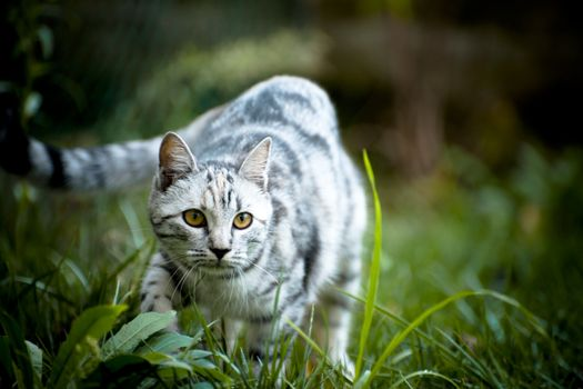 Photo free cat, striped, gray-white