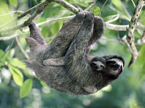 Фото бесплатно ленивец, верх ногами, ленивець
