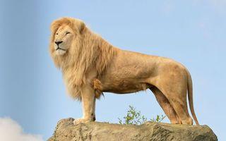 Бесплатные фото лев,царь,грива,морда,лапы,хвост,камень
