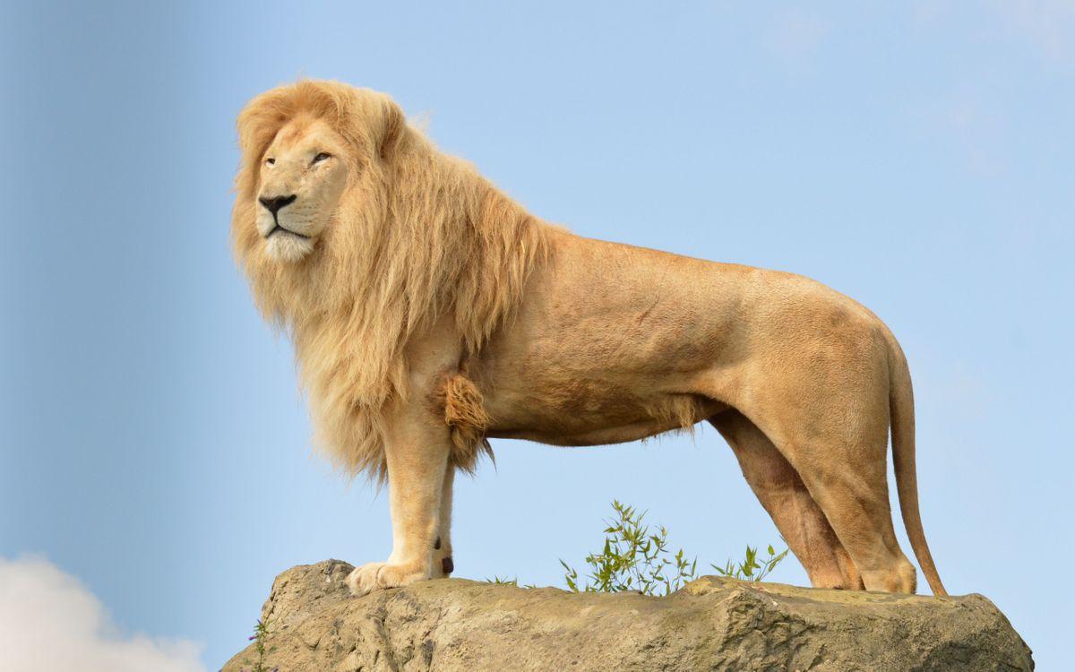 Фото бесплатно лев, царь, грива, морда, лапы, хвост, камень - на рабочий стол