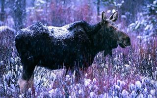 Бесплатные фото лось,морда,уши,зима,снег,ветки,животные