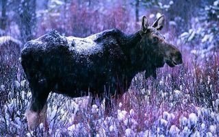 Фото бесплатно лось, морда, уши