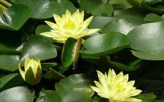 Бесплатные фото лотос,цветы,бутон,листья,вода,природа