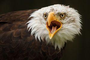 Фото бесплатно орел, клюв, язык