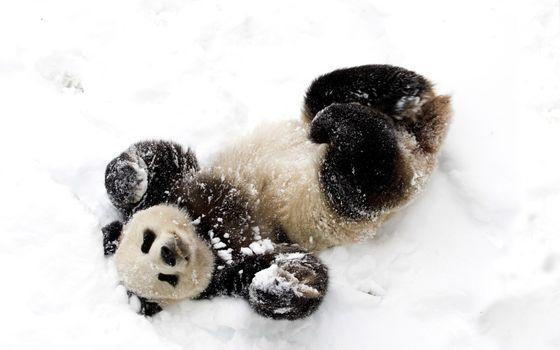 Photo free panda, snow, sticks