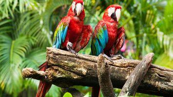 Бесплатные фото попугаи,красные,синие,дерево,ветка,клювы,птицы