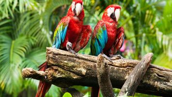 Photo free parrots, red, blue