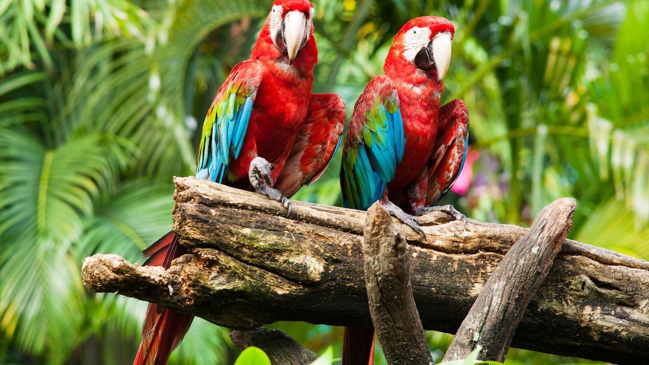 Фото бесплатно попугаи, красные, синие, дерево, ветка, клювы, птицы - на рабочий стол