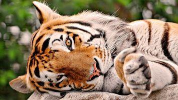 Фото бесплатно тигр, отдыхает, лежит