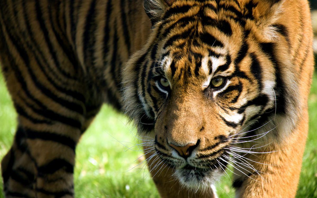 Фото бесплатно тигр, морда, полоски, охотится, присматривается, добыча, кошки, кошки