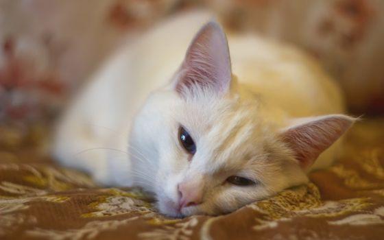 Фото бесплатно кошка, покрывало, уши