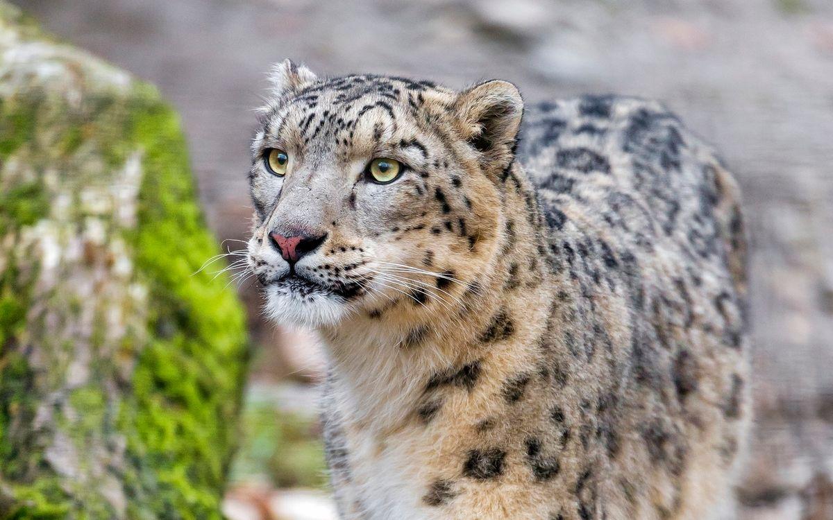 Фото бесплатно леопард, пятнистый, морда - на рабочий стол