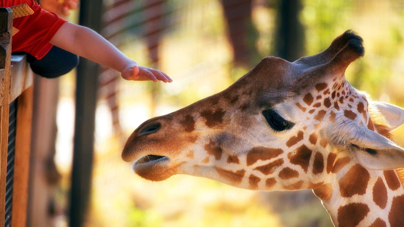 Free photo giraffe, horns, muzzle - to desktop