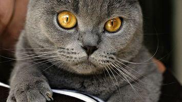 Фото бесплатно кот, котенок, британец, дымчатый, серый, пушистый, шерсть, глаза, когти, лапы, усы, нос, уши, кошки