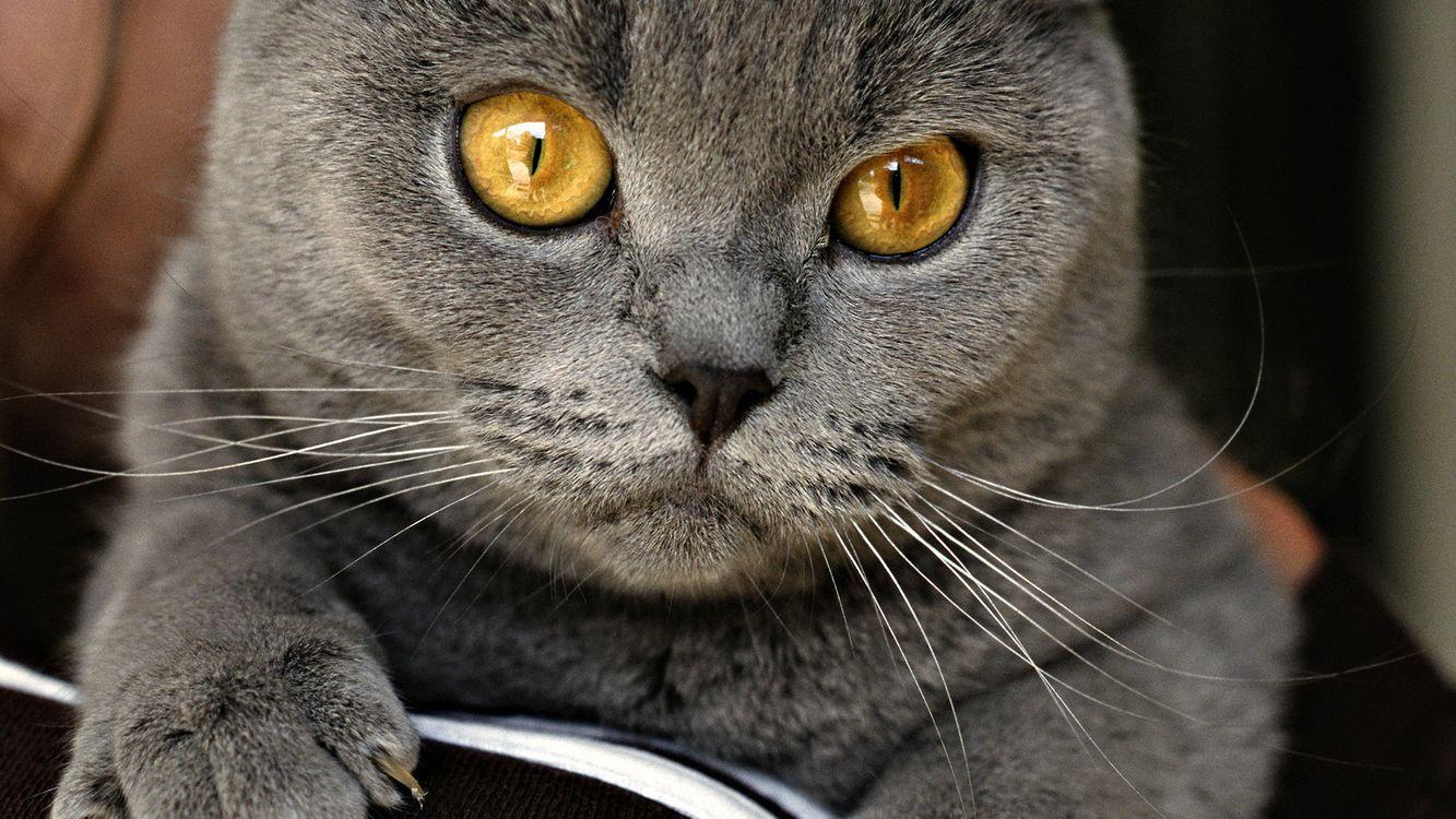 Обои кот, котенок, британец картинки на телефон