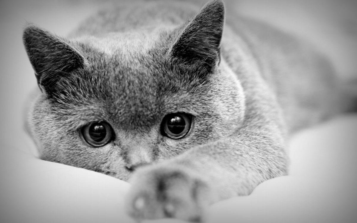 Фото бесплатно кот, уши, глаза, лапы, когти, взгляд, нос, усы, шерсть, кошки, кошки