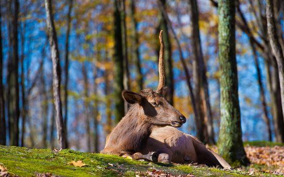 Фото бесплатно лось, рог, лежит