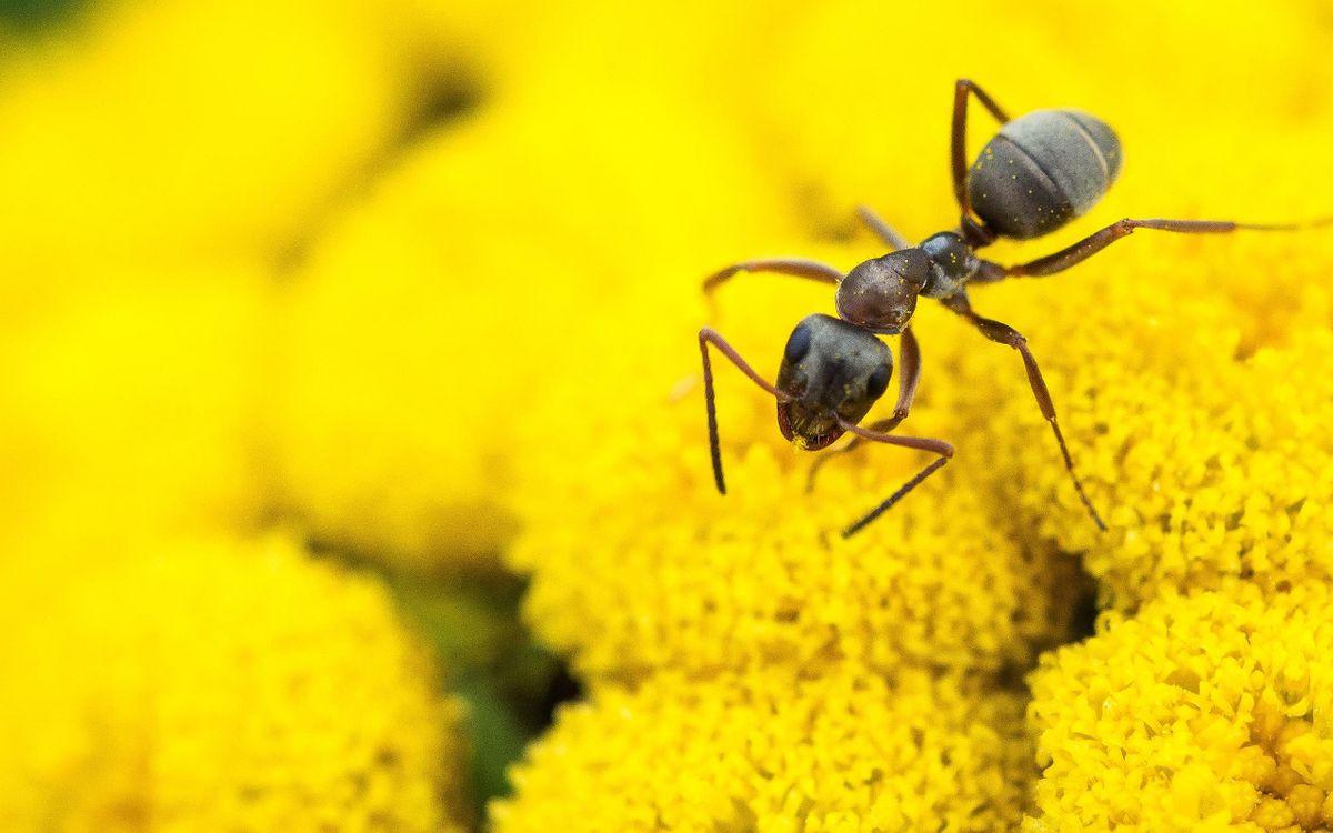 Фото бесплатно муравей, рабочий, лапки, усики, цветы, желтые, насекомые, насекомые