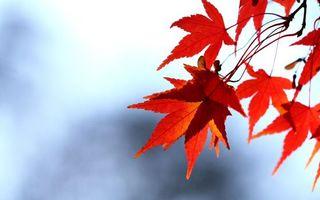Фото бесплатно осень, листья, красные