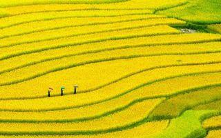 Бесплатные фото поле,плантация,растение,желтое,люди,зонтики,разное