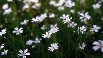 Заставки ромашки, цветы, поле