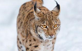 Бесплатные фото рысь,морда,глаза,желтые,уши,кисточки,кошки