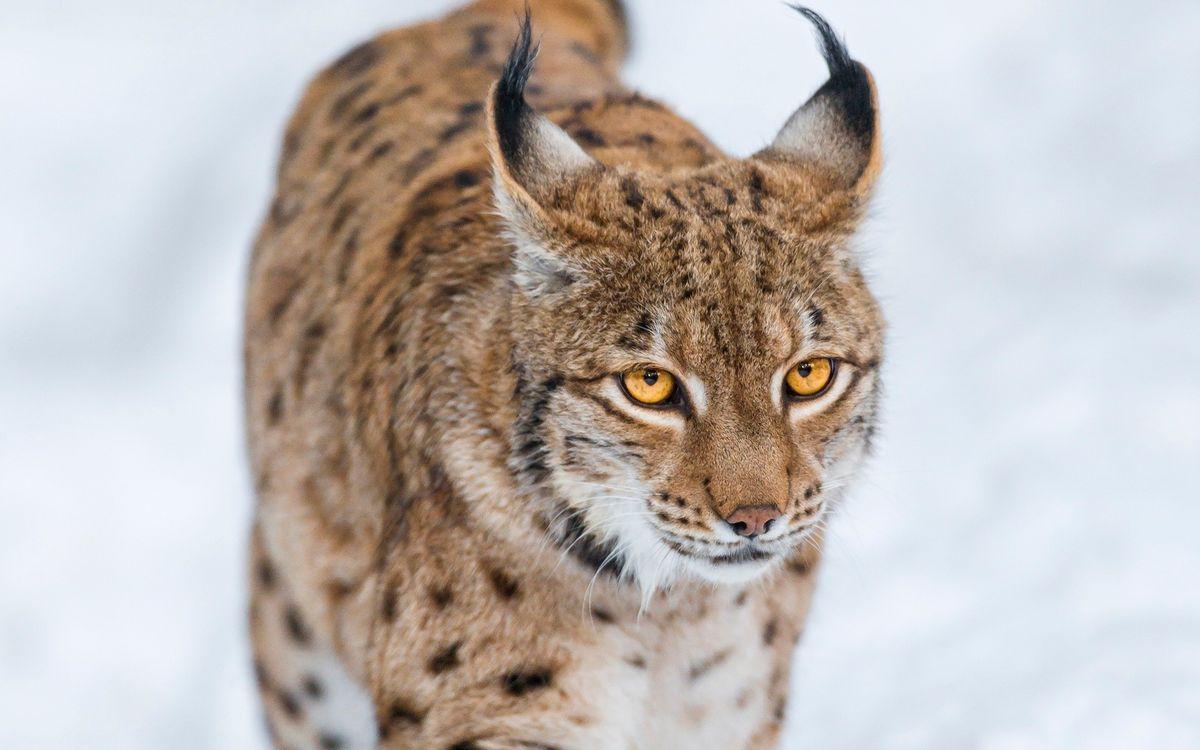Фото бесплатно рысь, морда, глаза, желтые, уши, кисточки, кошки, кошки