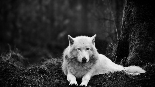 Фото бесплатно волк, белый, глаза, природа, лес, дерево, сепия, фото, собаки