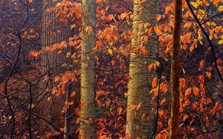 Photo free trunks, foliage orange, forest