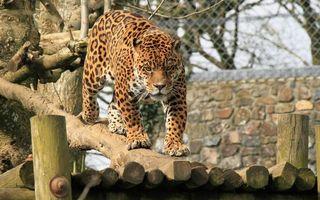 Бесплатные фото леопард, морда, лапы, хвост, окрас, вольер