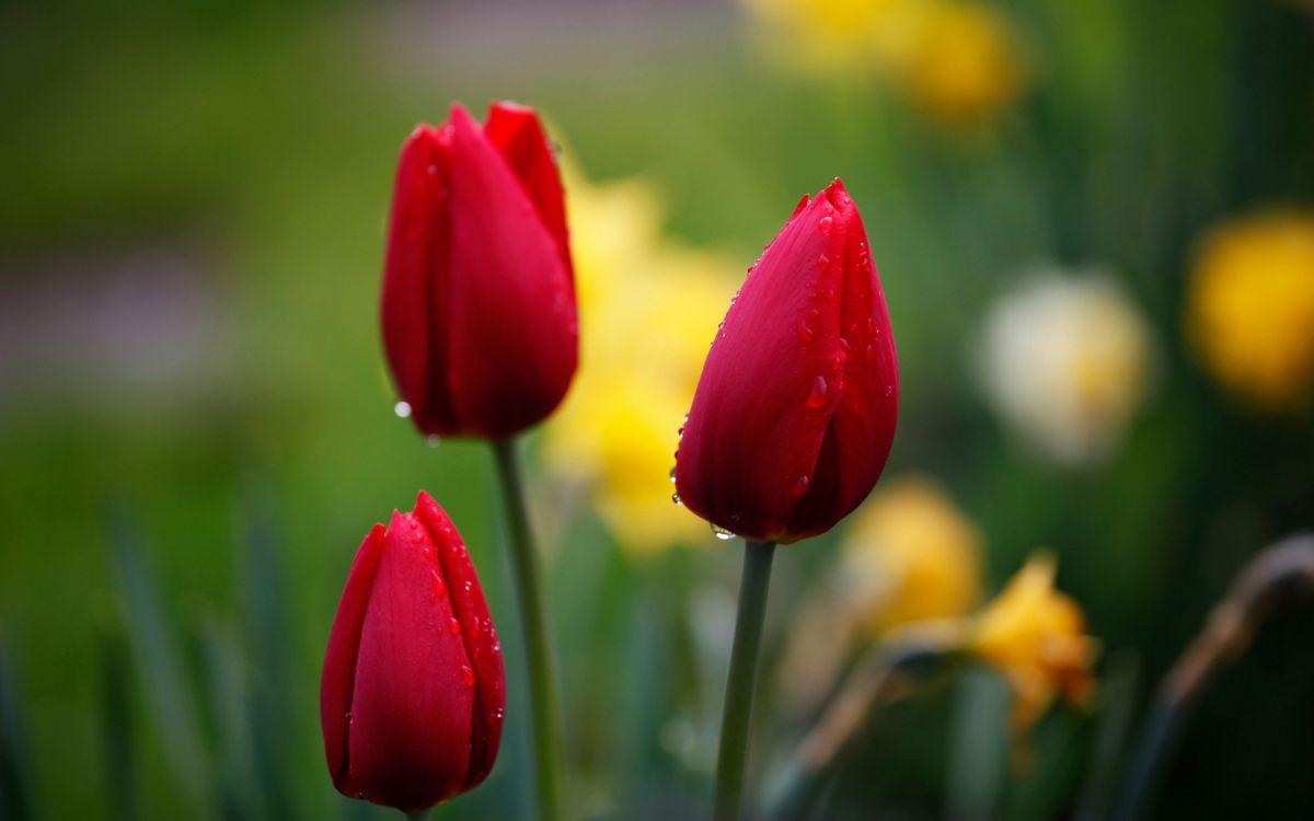 Фото бесплатно тюльпаны, бутоны, лепестки, красные, капли, вода, цветы